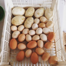 Goose and chickens eggs